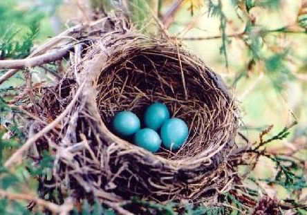 Robin_nest_large