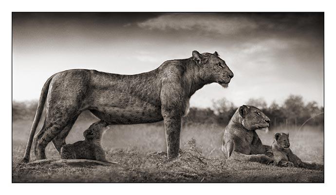 10_Lioness-with-Cub-Feeding