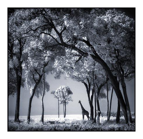 030_Giraffe-Baby-in-Trees