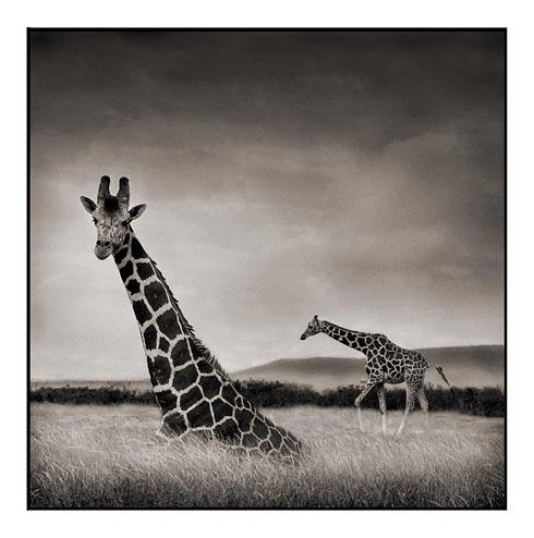 011_Sitting-Giraffe