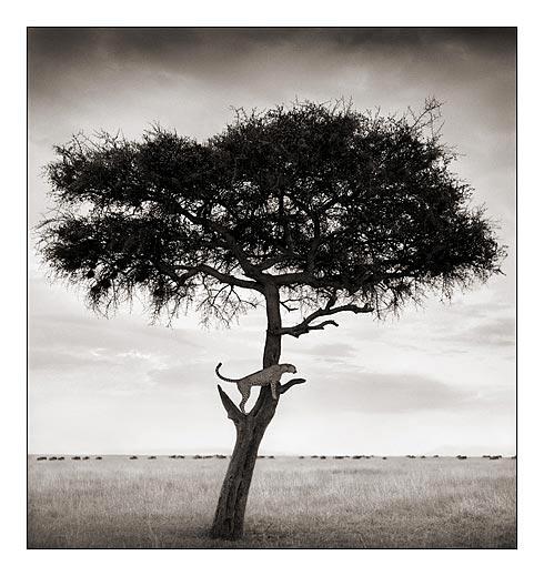 028_Cheetah-in-Tree