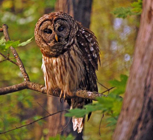 Montesana_owl1b