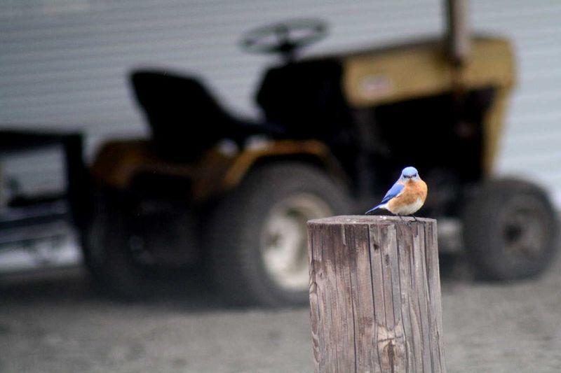 Bluebirdsmall