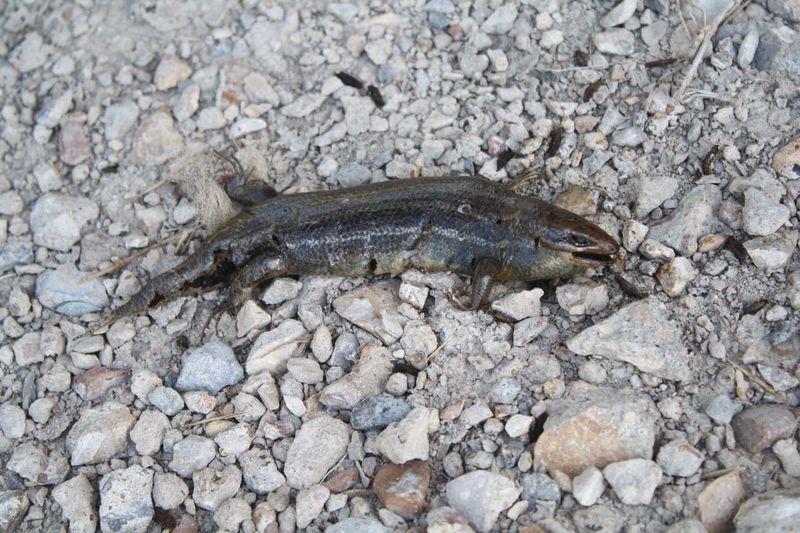 Poop Lizard front