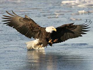 1_61_bald_eagle1