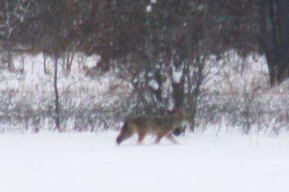 Coyote2close