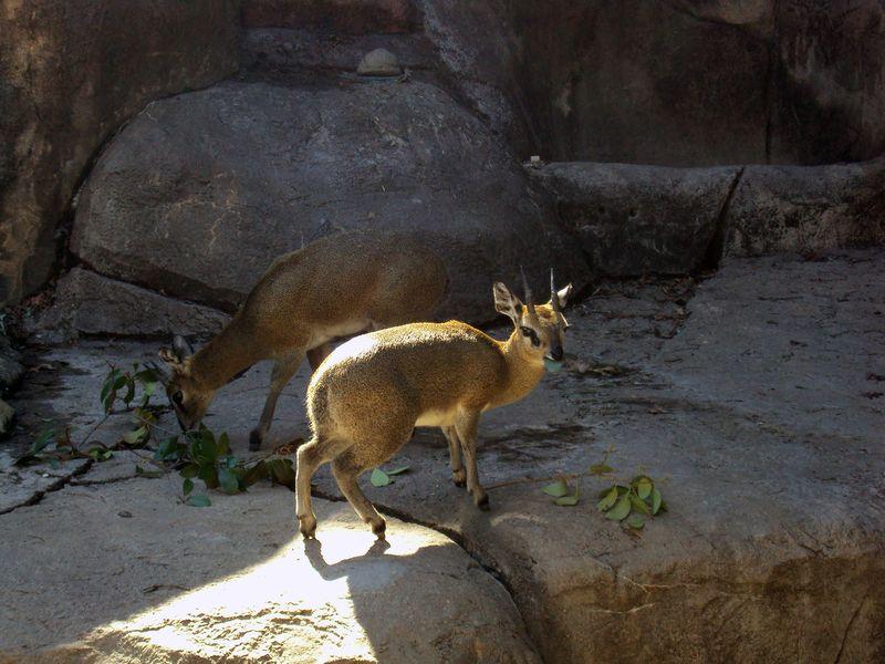 ZooKlipspringer