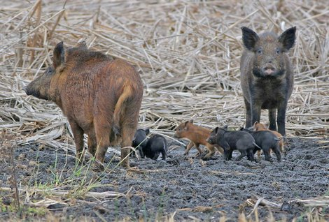 Texas-feral-hog-regulations