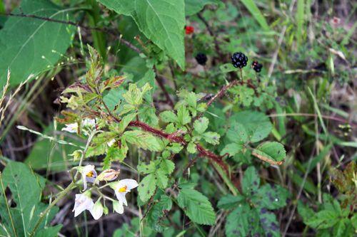 NightshadeBlackberries