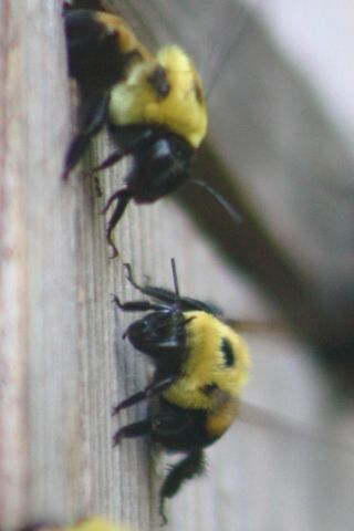 Bees116
