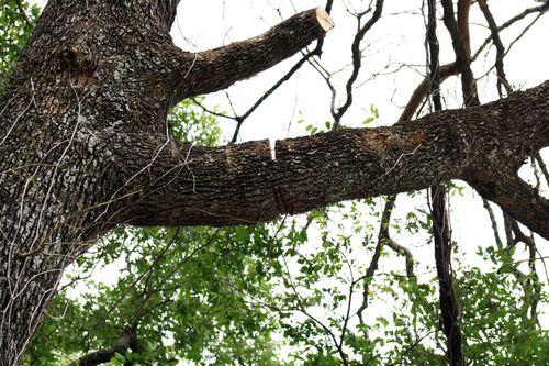 TreeCut1