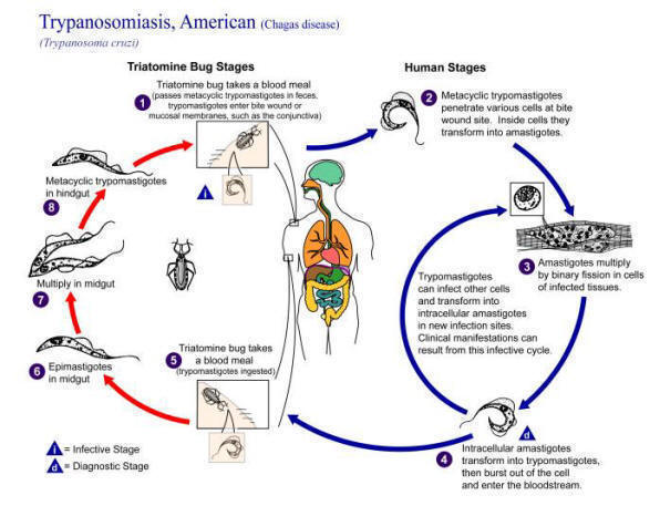 Chagas_transmission_cycle