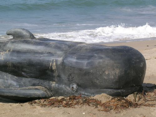 Beached_whale_15.sized
