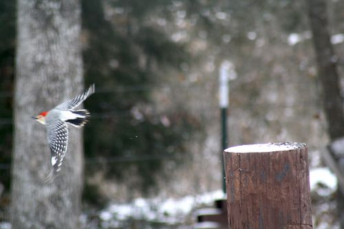 SnowWoodpecker4