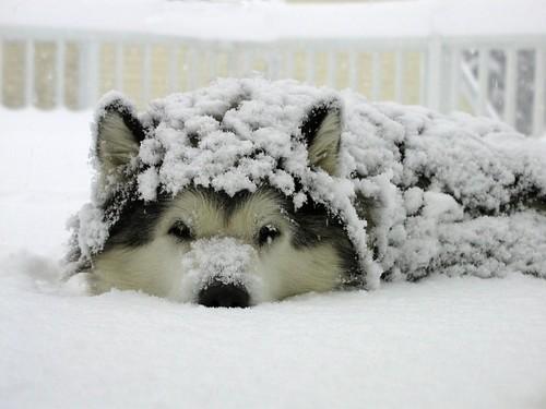 Puppy,dog,buried,husky,sleeping,snow-c65d2f1d2b0a019947e26f5b0ae3d074_h