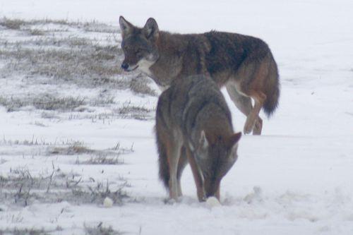 Snowcoyotes6
