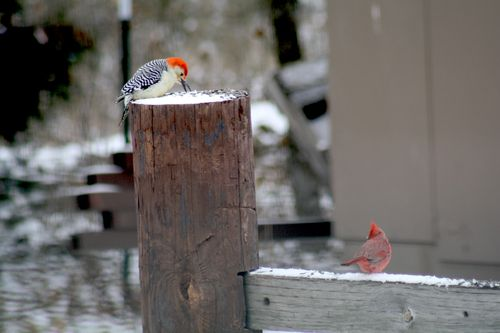 SnowWoodpecker2