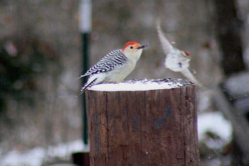 SnowWoodpecker5
