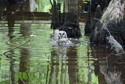 Barred Owl 0023 Willis