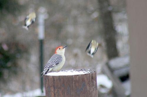 SnowWoodpecker3