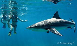 Bimini Shark Dive