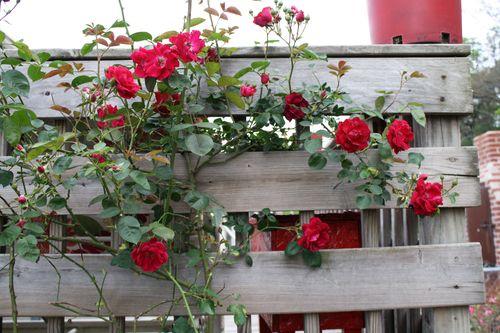 RosesClimb