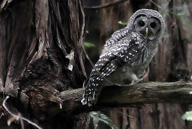 A Barred Owl by Richard Wilbur - The Rhinestone Bookmark