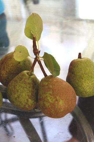 Gross Pears