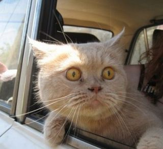 Terrified-cat-looks-out-car-window-500x458