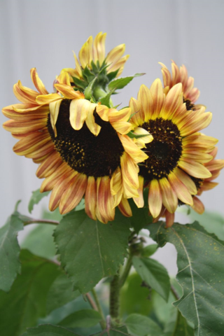 PartySUnflowers