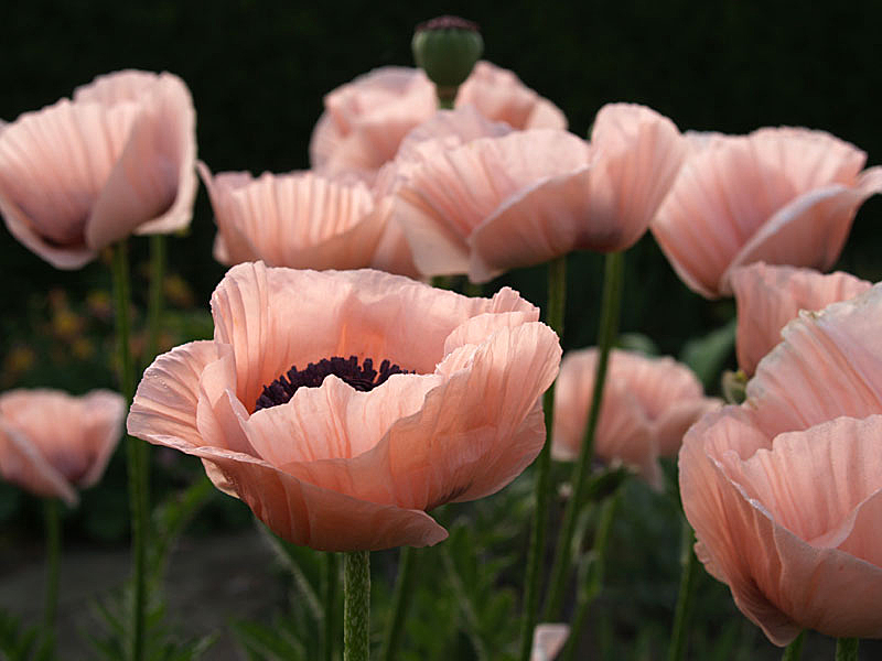 Pink_poppies_2